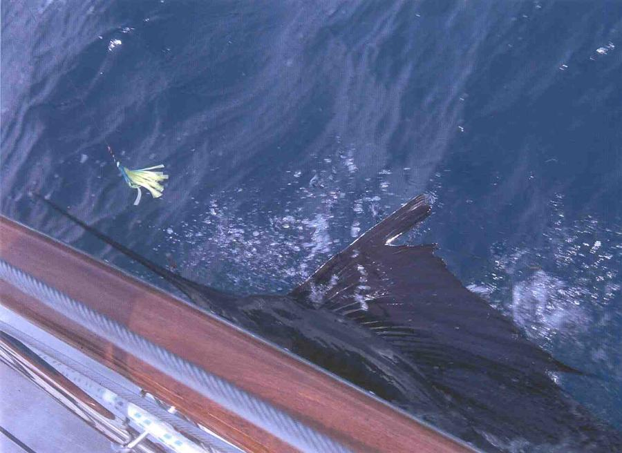 A Marlin on the line off the starboard beam